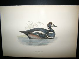 Morris 1870 Antique Hand Col Bird Print. Harlequin Duck